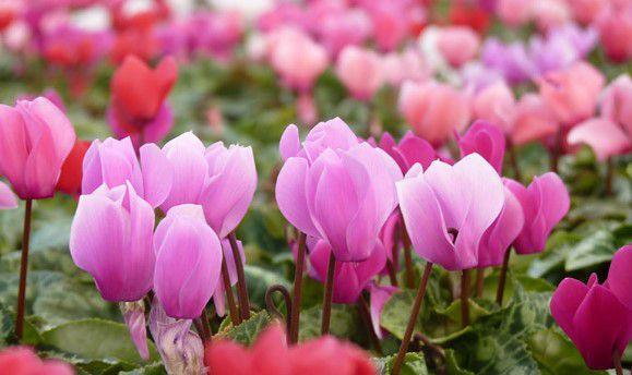 Kết quả hình ảnh cho hoa anh thảo