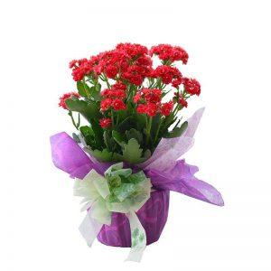hoa mùa hạ, chậu hoa sống đời, hoa sống đời, điện hoa trực tuyến, hoa tươi